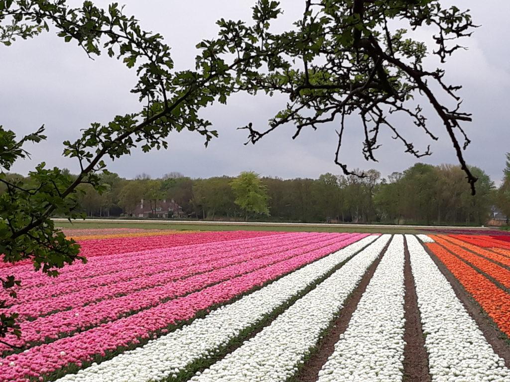 holandske tulipany